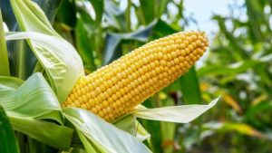 CBN to distribute 50,000 metric tonnes of maize to farmers